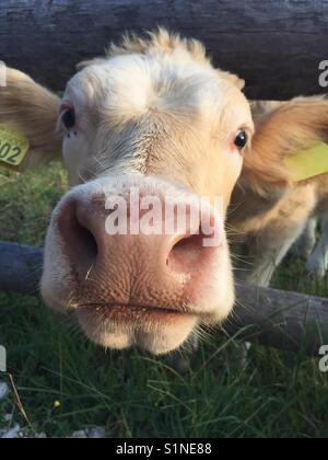 Friendly baby cow - Stock Photo