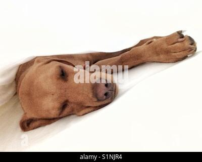 A tired and sleepy puppy dog stretching out under clean white sheets - Stock Photo
