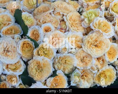 Bouquet of Rose 'Sunset' yellow rosette shaped double flower fading to white at edges.  Gelb und weiß Rosa Sunset. - Stock Photo