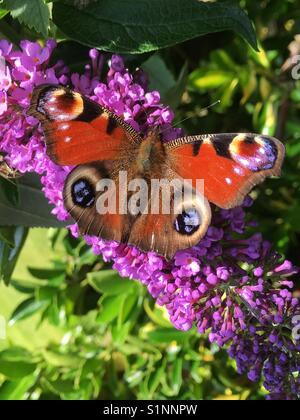 A Peacock Butterfly on a Buddleja davidii flower. - Stock Photo
