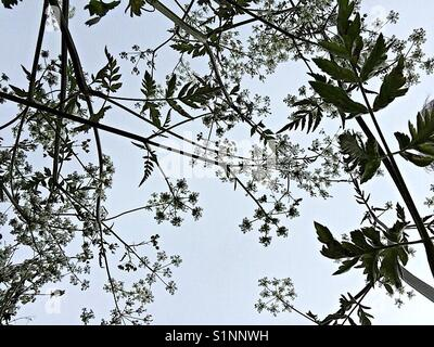 Looking at the sky from underneath a Cow Parsley plant - Stock Photo
