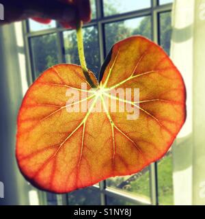 Light shines through a begonia leaf which looks like a heart with veins. - Stock Photo