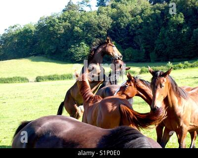 Colts in field rearing - Stock Photo