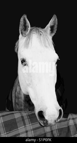 Close up of grey horse in stable - Stock Photo