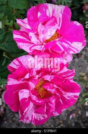 Two tone pink roses - Stock Photo
