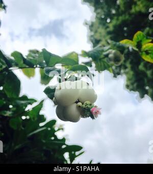 Snow berries - Stock Photo