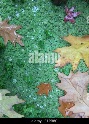 Autumn leaves on surface of pond with algae and dewdrops - Stock Photo