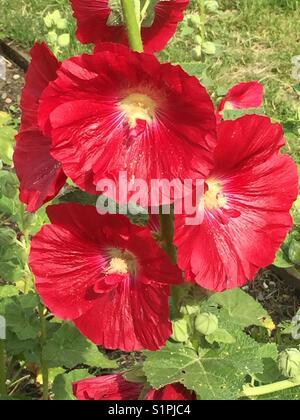 Alcea rosea 'Mars Magic'.  Red hollyhock.  Stockrosen - Stock Photo