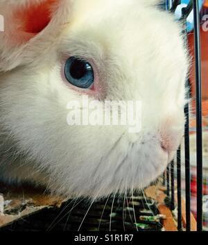 Closeup of white Lionhead bunny - Stock Photo