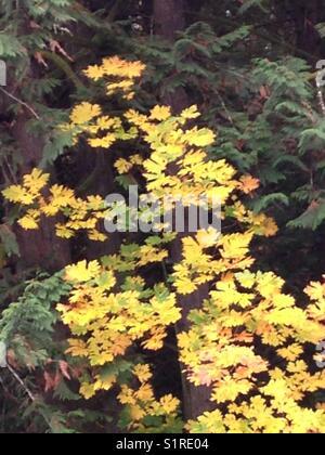 Beautiful big-leaf Maple tree exhibiting colors among surrounding evergreen trees in Washington State, USA - Stock Photo