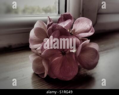 Late season pink geraniums on a windowsill - Stock Photo