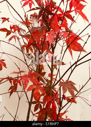 Acer palmatum atropurpureum. Purple maple with red leaves in autumn against a white background. Japanese Maple - Stock Photo