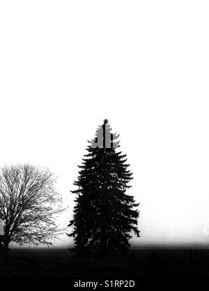 Maple and tall evergreen tree silhouetted against a foggy background - Stock Photo