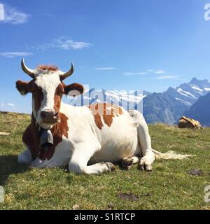 Cow in the Swiss alps - Stock Photo