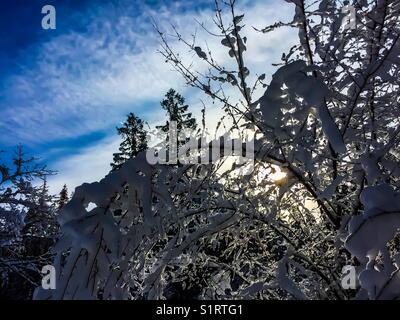 Sun shining through snow covered trees - Stock Photo