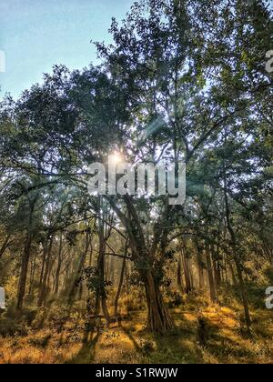 Early morning sun rays penetrating the trees in a wood giving a fresh feel - Stock Photo