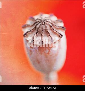 Poppy seed head autumnal - Stock Photo