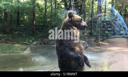 Bear taking a shower at zoo exhibit in Everland - Stock Photo