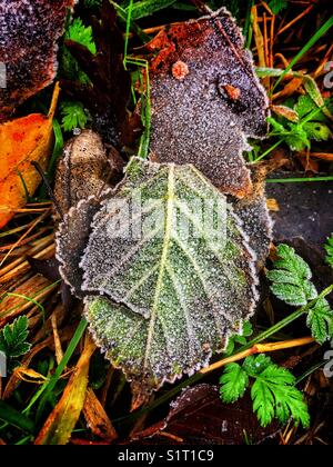As the leaves have fallen, and showing the colours of autumn. The mornings are starting to show the signs of ground - Stock Photo