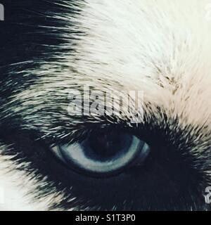 Siberian husky with blue eye - Stock Photo