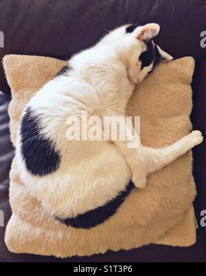 White cat with black markings sleeping on a faux fur pillow in a funny position with leg stretched out - Stock Photo