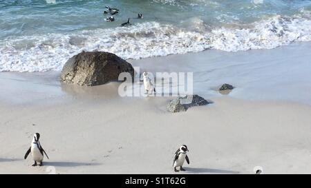 Boulders beach penguin colony - Stock Photo