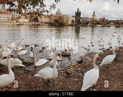 Swans near the Vltava river in Prague and Charles bridge - Stock Photo