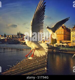 Prague Castle panorama with  two flying black-headed gulls - Stock Photo