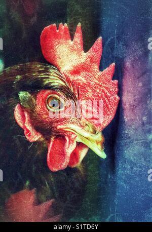 Colourful creative portrait of a chicken (Rhode Island Red hen) - Stock Photo