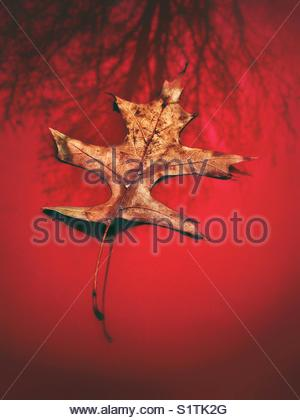 Last oak leaf found on my red car - Stock Photo