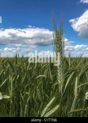 The highest ear of wheat in the field under the cloudy sky. - Stock Photo