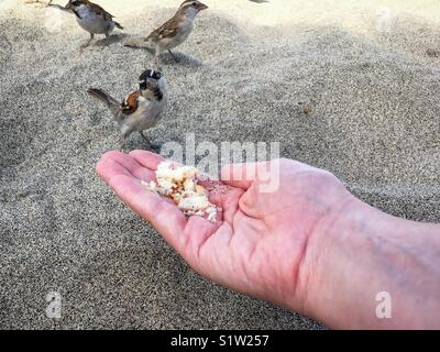 Iago Sparrow from Cape Verde Looking quizzically at the camera whilst perched on a woman's hand and eating bread - Stock Photo