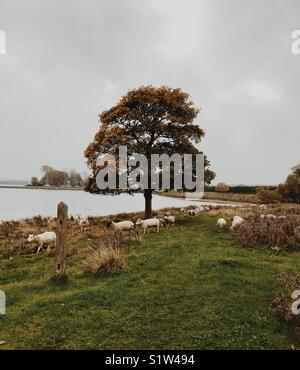 Sheep in autumn next to reservoir - Stock Photo