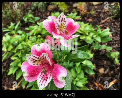Pink and white azalea blooms growing in a garden - Stock Photo