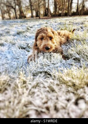 Red haired Cockapoo laying in frozen parkland grass - Stock Photo