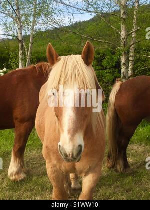 Cheval de la Cerdange, Languedoc-Roussillon, Pyrénées-Orientales. Cerdange ponies, France - Stock Photo