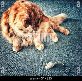 Large fluffy long haired orange cat looking at toy mouse