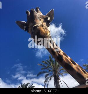 Giraffe looking down at visitors. - Stock Photo