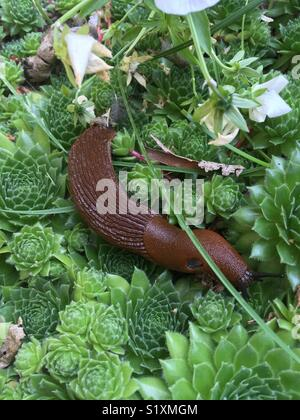 Killer slug eating on a group of succulent. Considered a pest, and trouble in gardens. Arion vulgaris. - Stock Photo