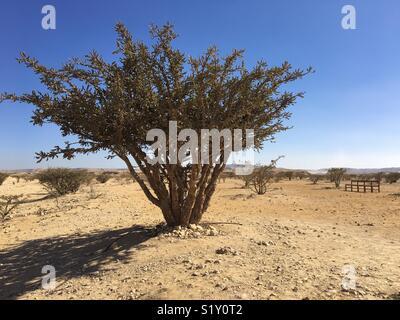 Frankincense tree. Oman - Stock Photo