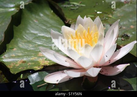 Pukekura Park, New Plymouth - November 19, 2017: White and pink water lily surrounded by lily pads. Little flies - Stock Photo
