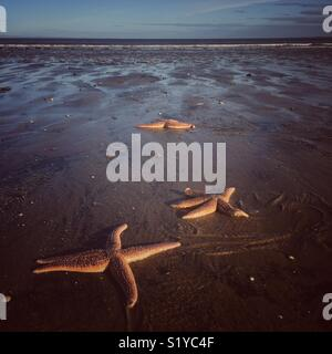Stranded starfish at low tide on sunny winters day at Portobello Beach, Edinburgh, Scotland - Stock Photo