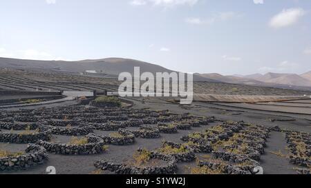 Volcanic vineyards in la Geria, Lanzarote - Stock Photo