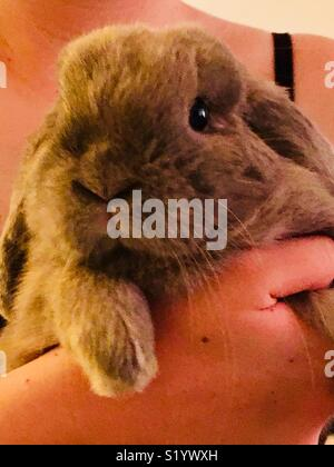 Young Blue Tort colored Holland Lop rabbit being held by girl - Stock Photo