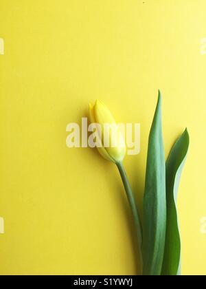 A single yellow tulip. - Stock Photo