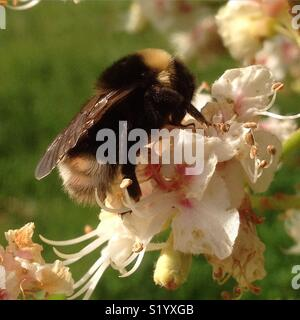 Bumblebee and Horse chestnut flowers, Aesculus hippocastanum - Stock Photo