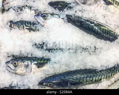 Display of sardines on a stall buried in ice for sale in a fish shop. - Stock Photo