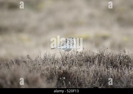 Meadow Pipit spotted on Barden Moor, Yorkshire - Stock Photo