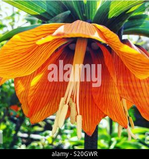 Vivid orange Fritillaria imperialis (Crown Imperial) looking vibrant in the spring sunshine at RHS Harlow Carr gardens. - Stock Photo
