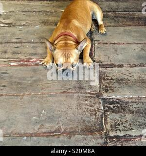 French bulldog on old wooden floorboards in Luang Prabang Laos - Stock Photo